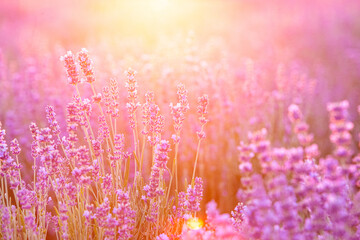 Blooming violet lavender field on sunset sky.