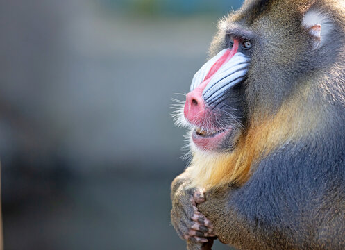 Colorful mandrill baboon