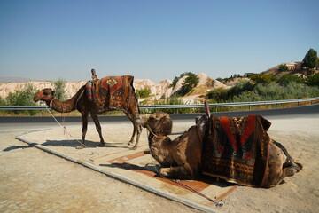Two beautiful camels enjoying a sunny day in Turkey , Cappadocia region