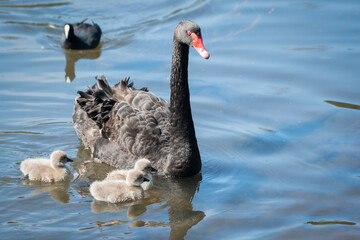 Black swan and her three cygnets swimming in a clear lake