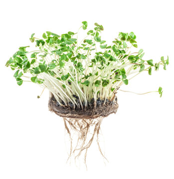 Growing micro greens on white background