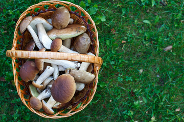 Edible mushrooms porcini in the wicker basket in green grass. Top view
