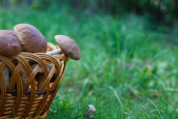 Edible mushrooms porcini in the wicker basket in green grass.