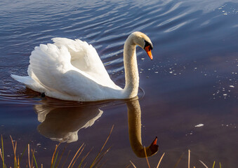 A male mute swan swims on a pond in southern Germany