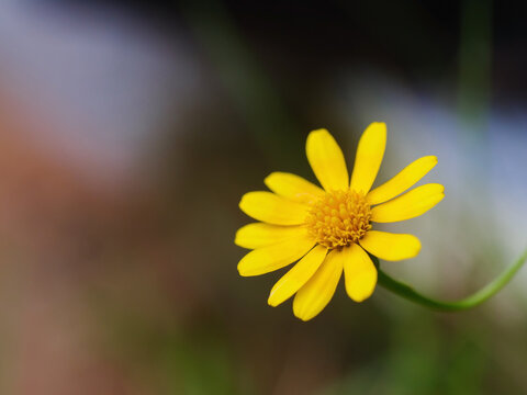Small fresh and nature blooming yellow daisy, Close-up shot, select focus shallow depth of field