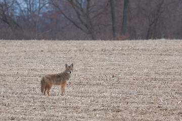Coyote in a Harvested Farm Field