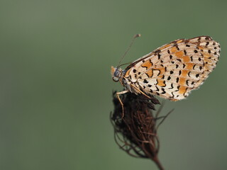 An orange white and black butterfly on the brown background
