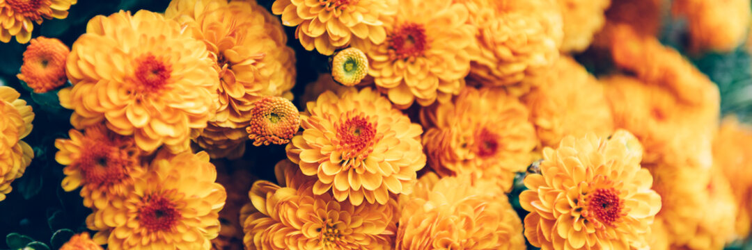 Close up of bouquet of orange chrysanthemum flowers in pot in garden, background image, banner image