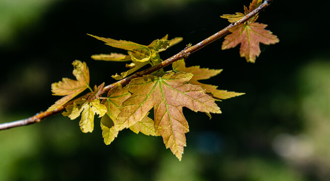 Acer saccharinum. It is a genus of deciduous plants that belongs to the Aceraceae family