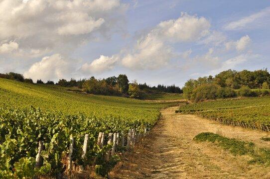 Vignoble de Bourgogne.