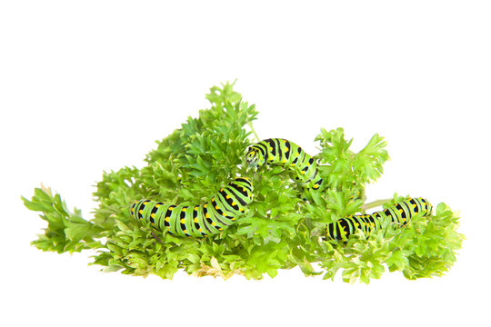Close up of three Western Tiger Swallowtail caterpillar eating parsley, isolated on white