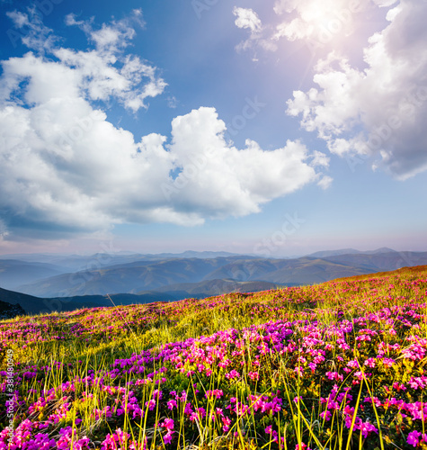 Wall mural Awesome pink rhododendron flowers in summer alpine valley.