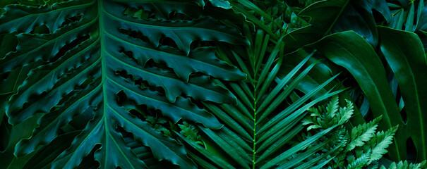 Wall Mural - closeup nature view of tropical green monstera leaf background. Flat lay, fresh wallpaper banner concept