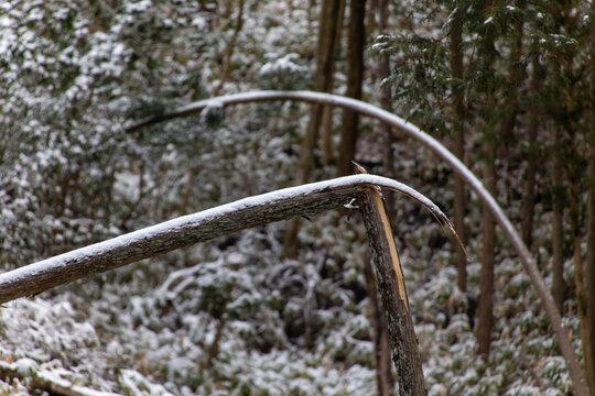 雪が積もって曲がっている幹