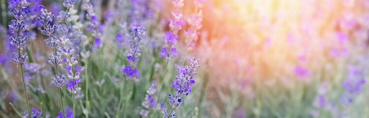 Blooming lavender flowers at sunset light