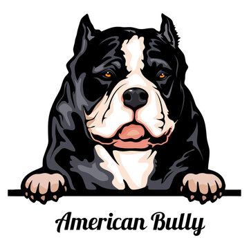 Head American Bully - dog breed. Color image of a dogs head isolated on a white background