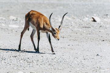 Springbok ou antilope à ressorts - Antidorcas marsupialis