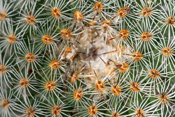Cactus top view background closeup macro pattern