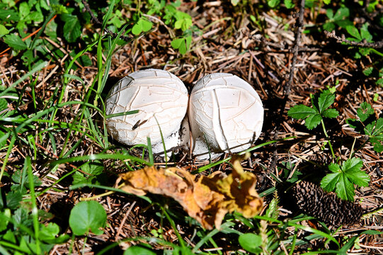 Mushroom Lycoperdon utriforme, common name handkea utriformis, mosaic puffball growing in meadows in spring and autumn