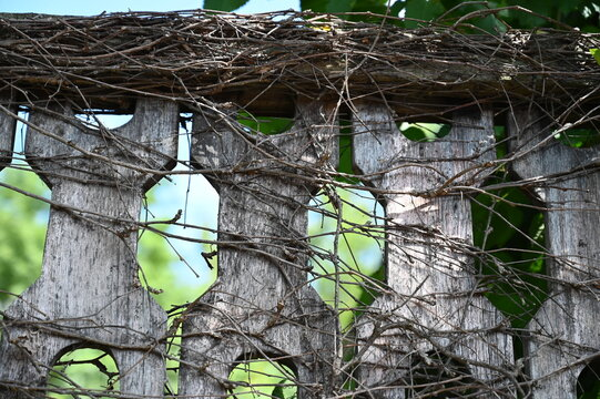 tree, nature, green, plant, leaf, grape vines, bark, wood, leaves, forest, growth, spring, branch, trunk, natural, texture, old, wall, flora, summer, garden, vine, woods, foliage, trees, fence, weathe
