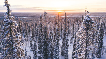 Aerial view from drone of snowy pines of endless coniferous forest trees in Lapland National park, bird's eye scenery  view of natural landmark in Riisitunturi on winter season at sunset golden light.