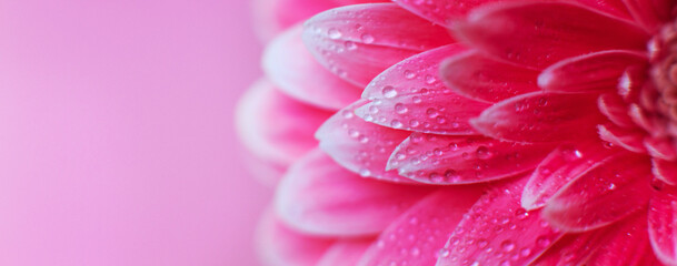 Pink Gerbera flower petals with drops of water, macro on flower, beautiful abstract background. Banner