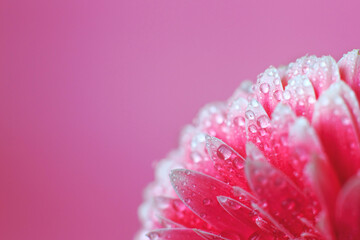 Pink Gerbera flower petals with drops of water, macro on flower, beautiful abstract background