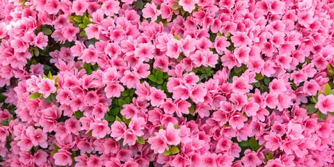 Pink azalea flowers background ピンク色のツツジの花 背景