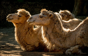 Portrait of a group of camels on a morning light
