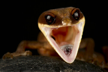 Wall Mural - cat gecko (Aeluroscalabotes felinus)