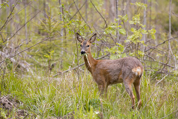 Photo sur Plexiglas Roe European roe deer (Capreolus capreolus) eating grass