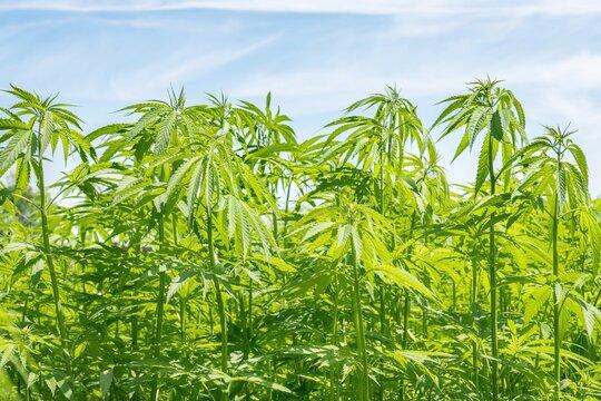Marijuana plants - cannabis farm field
