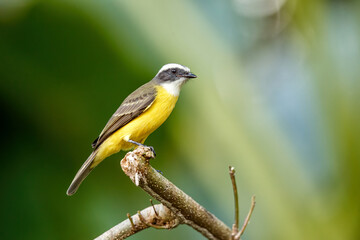 Great Kiskadee, Pitangus sulphuratus, sitting on a branch in Tortuguero National Park in Costa Rica