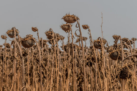 Withered sunflower field in summer