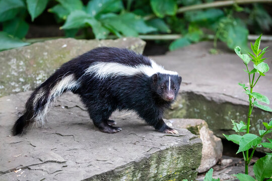 close-up photo of striped skunk (Mephitis mephitis) in nature