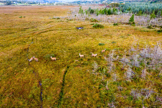 Aerial view of deer in County Donegal - Ireland