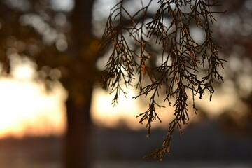 Sunset Christmas Tree Branch