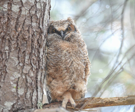 great horned owlet - yearbook photo :)