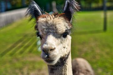 Closeup shot of a cute llama