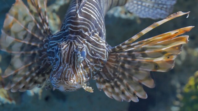 Lion fish live in aquarium