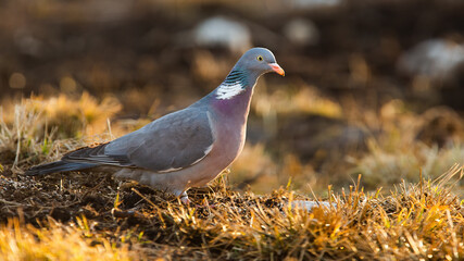 Common wood pigeon, columba palumbus, standing on ground in autumn. Grey european bird looking on dry grass in fall backlit by evenung sun.