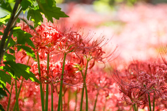 Lycoris radiata. Red spider lily in garden.