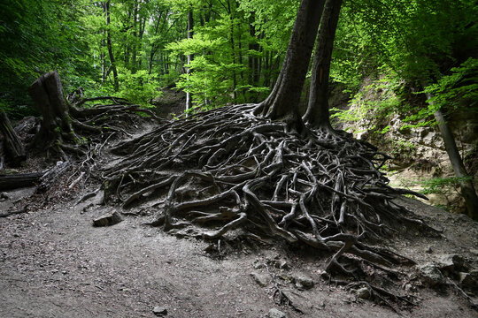 Hungarian forest landscape with bare roots