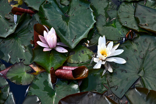 beautiful summer blooming waterlily