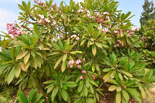 flowering plant Plumeria rubra