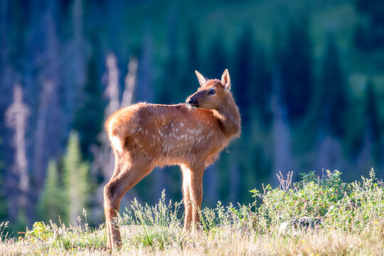 Baby Elk (Cervus canadensis) High in the Mountains with their Mothers and Herd in Rocky Mountain National Park in Colorado