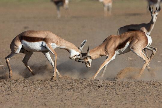 Springbok (Antidorcas marsupialis) fighting, Kgalagadi Transfrontier Park
