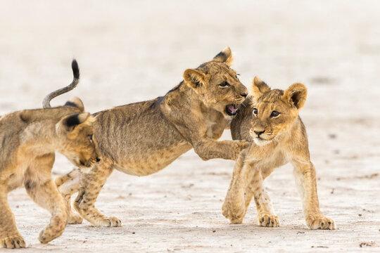 Lion (Panthera leo) cubs playing, Kgalagadi Transfrontier Park