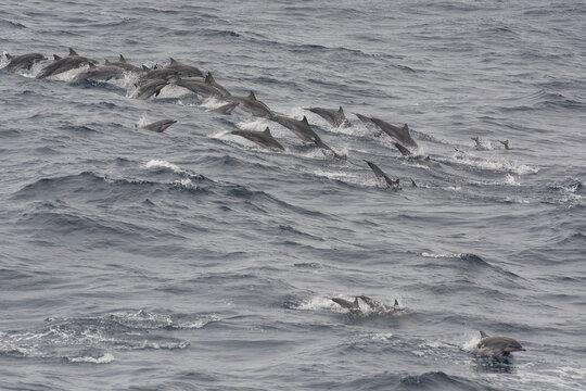 Pod of Clymene dolphins (Stenella clymene) porpoising offshore, Sao Tome, Sao Tome and Principe
