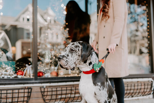 A beautiful young woman in her twenties shopping and hanging ornaments with her great dane puppy at Christmas time.